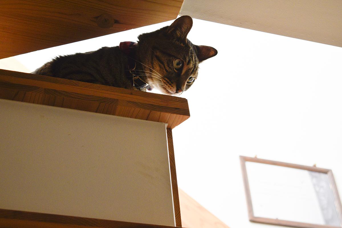 階段からサバトラ猫の春太をみるキジトラ猫の虎ノ介