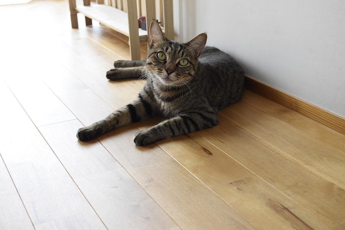 部屋にもどってきたキジトラ猫の虎ノ介