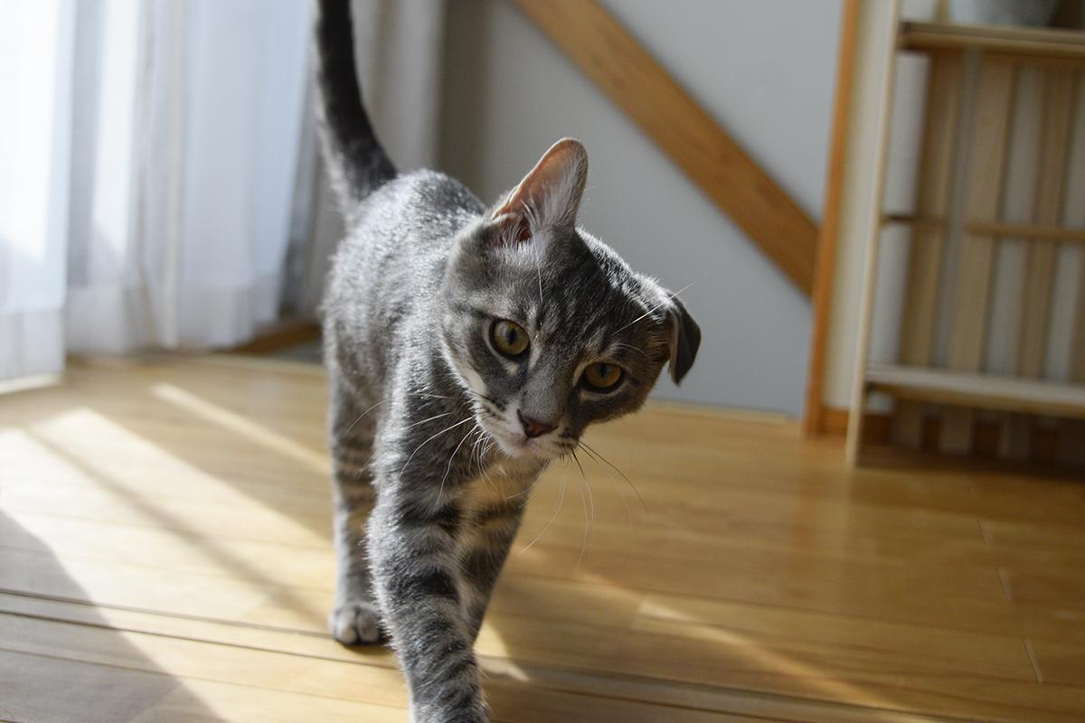 なぜか片方だけタレ耳のサバトラ猫の春太