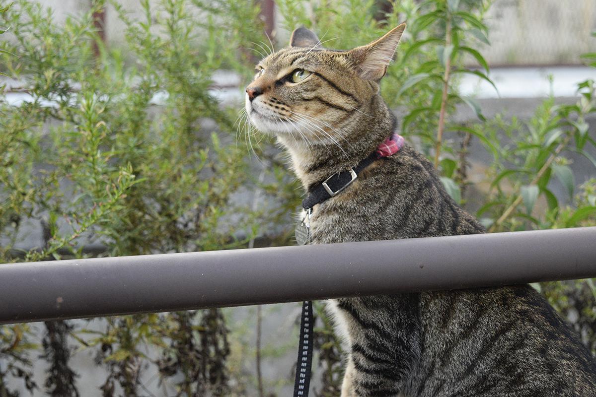 お外を満喫するキジトラ猫の虎ノ介