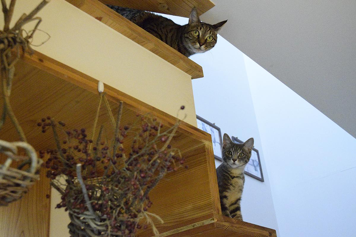 階段のところで外にでるかどうか迷っているキジトラ猫の虎ノ介とそれをみるサバトラ猫の春太