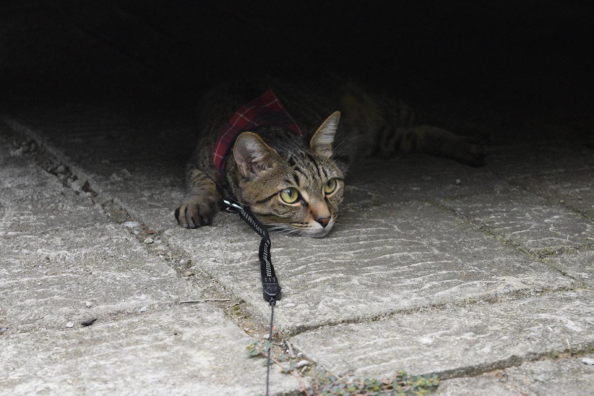 子供がいるので隠れているキジトラ猫の虎ノ介
