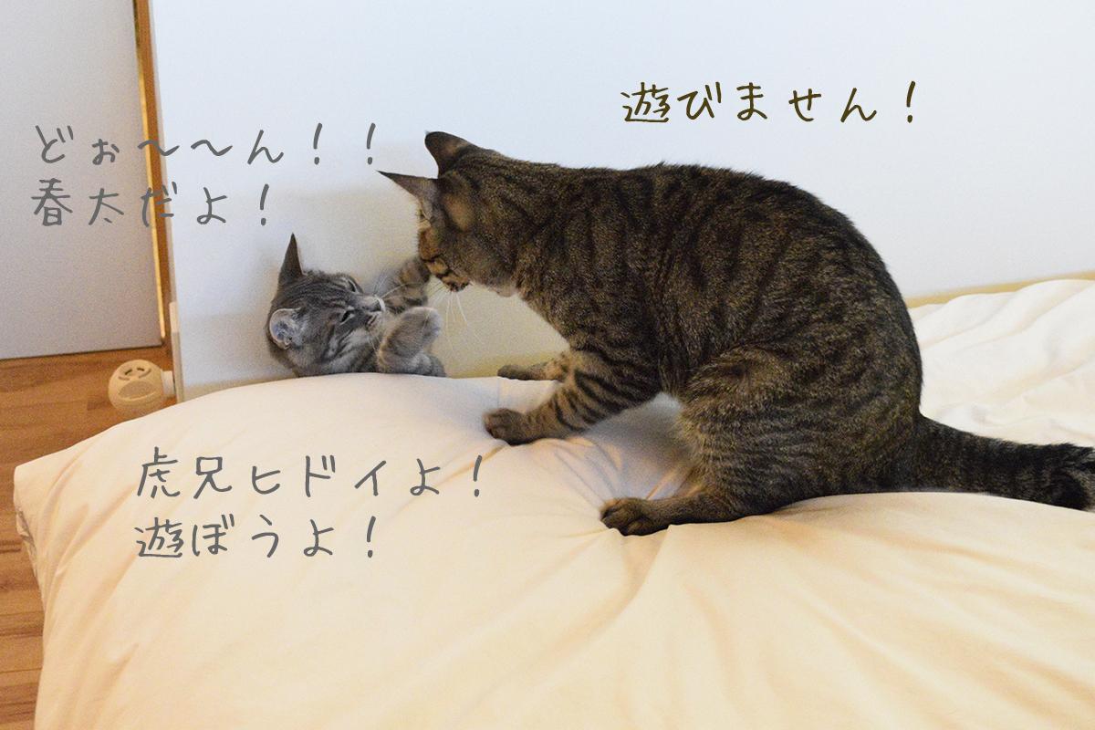 キジトラ猫の虎ノ介とサバトラ猫の春太のじゃれあい