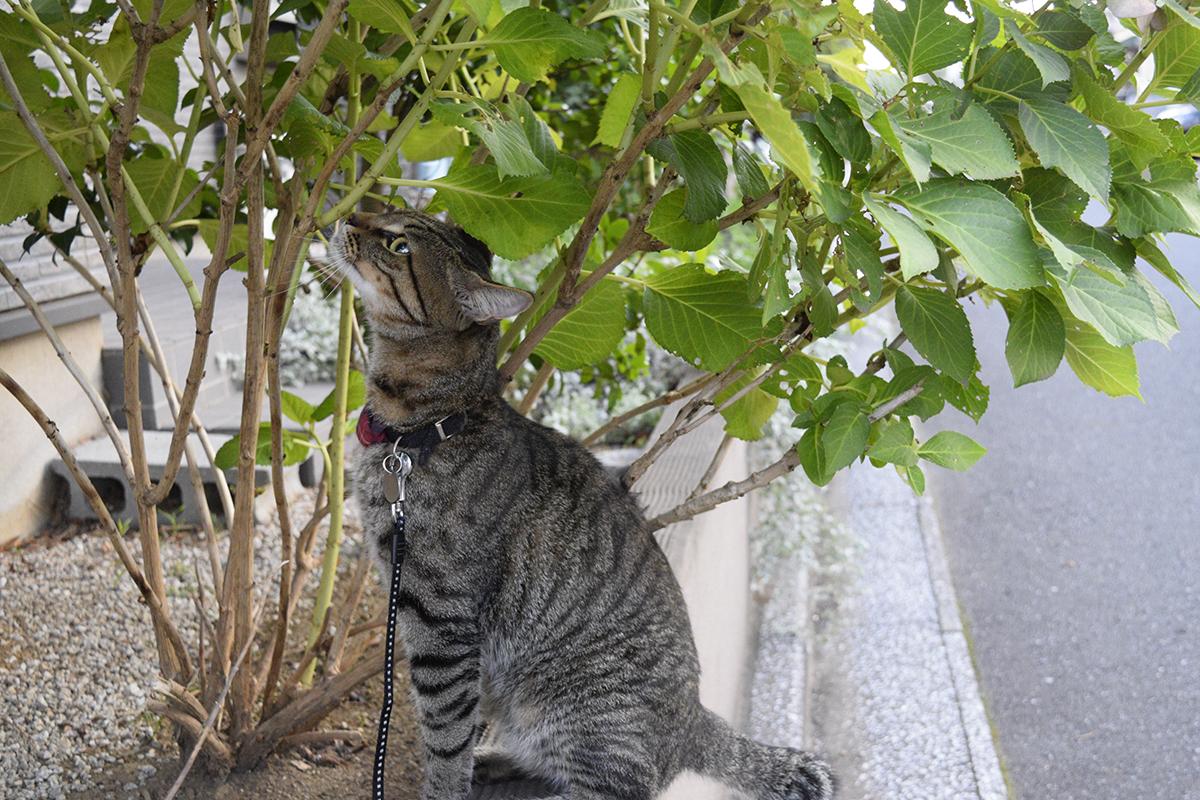別荘(仮)に到着して匂いチェックするキジトラ猫の虎ノ介