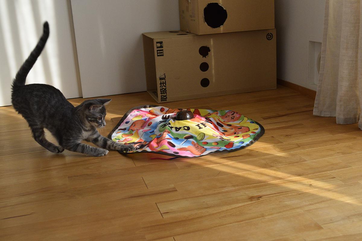 キャッチミーイフユーキャンで遊ぶサバトラ猫の春太