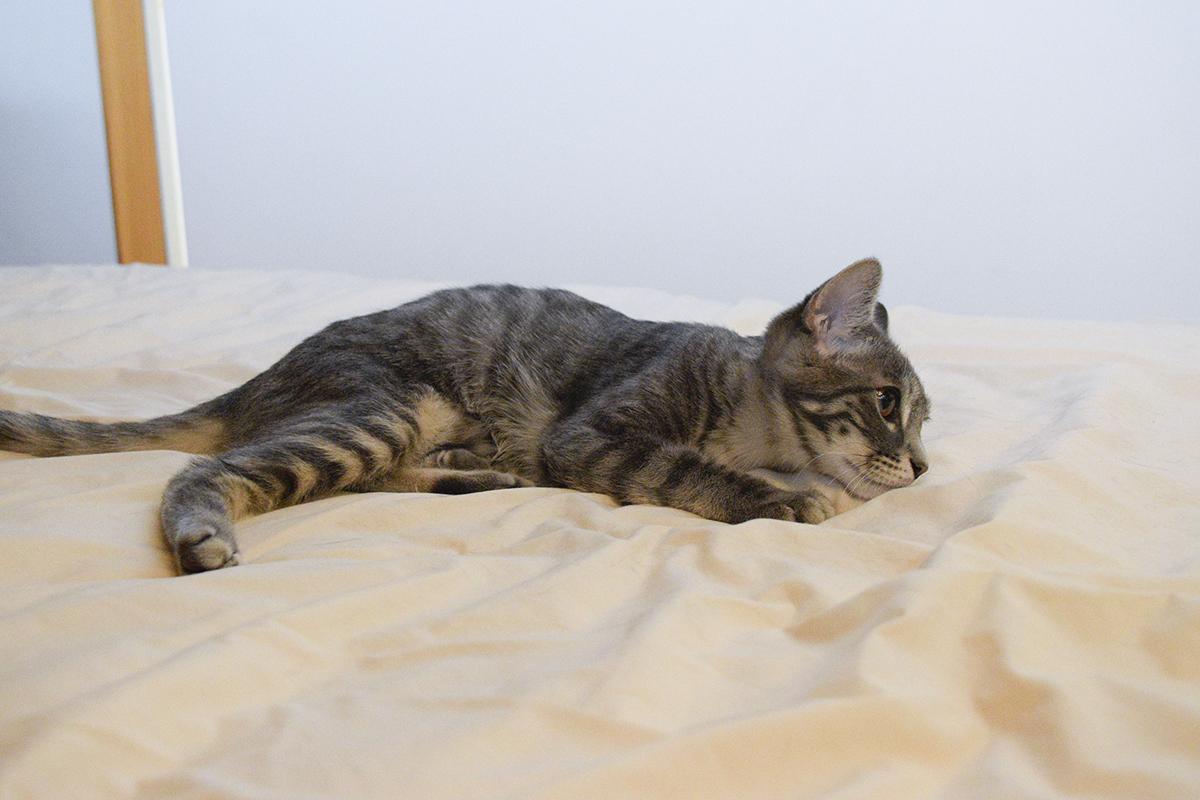 ベッドでキジトラ猫の虎ノ介を狙うサバトラ猫の春太