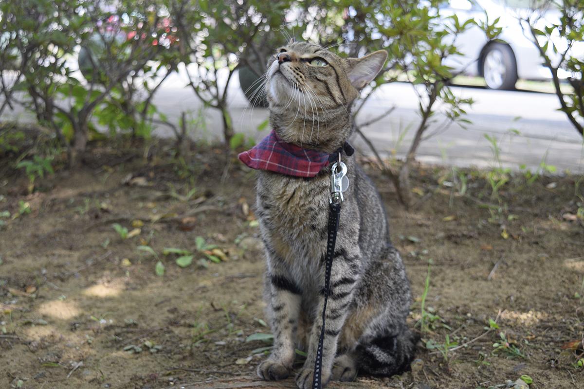 お散歩にでて鳥さんを見上げるキジトラ猫の虎ノ介