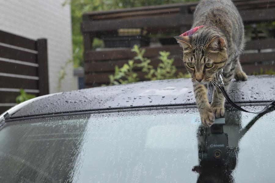 車から滑り降りるキジトラ猫の虎ノ介