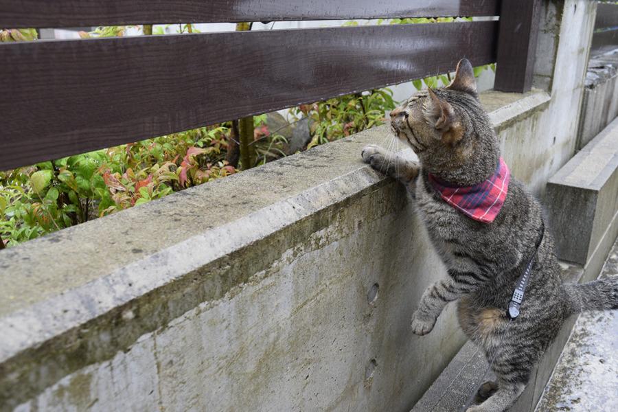 フェンスの隙間から覗くキジトラ猫の虎ノ介