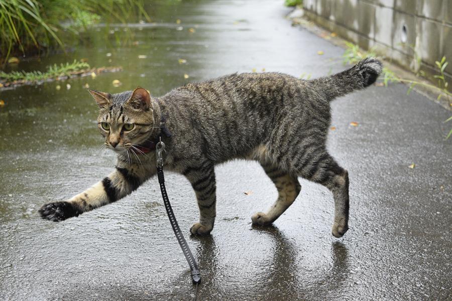 雨の中歩くキジトラ猫の虎ノ介