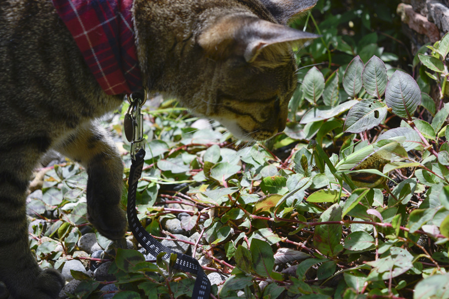 カマキリを発見したキジトラ猫の虎ノ介