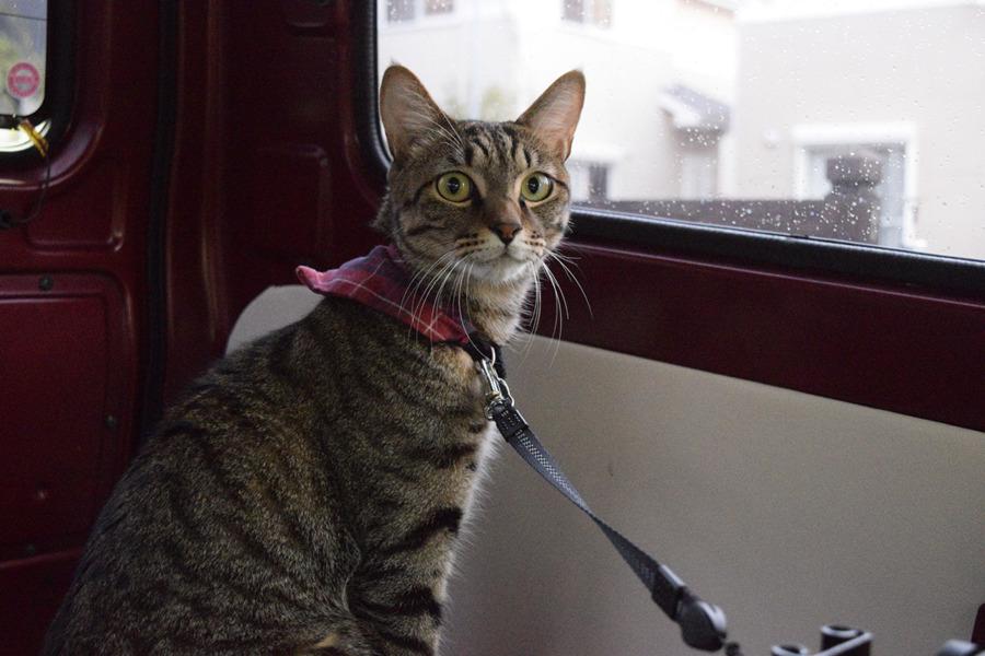 車の中から犬をみつけたキジトラ猫の虎ノ介