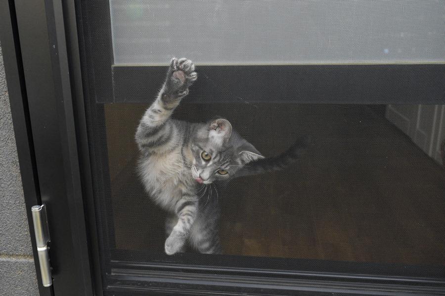 勝手口から外を覗くサバトラ猫の春太