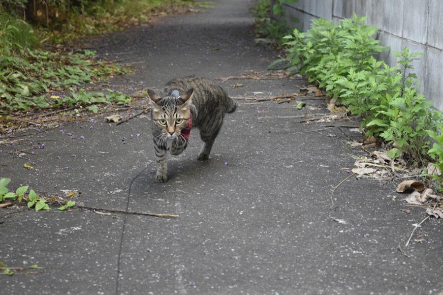 背後から犬がきて逃げるキジトラ猫の虎ノ介