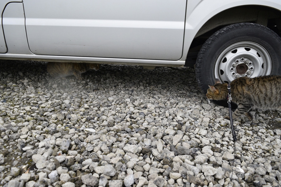 駐車場で猫を発見したキジトラ猫の虎ノ介
