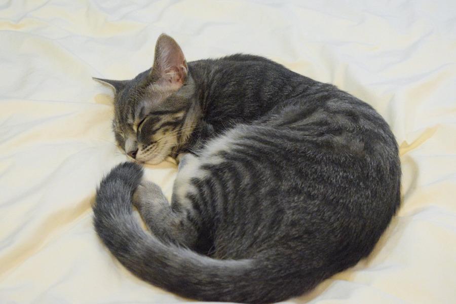 ベッドで眠るサバトラ猫の春太