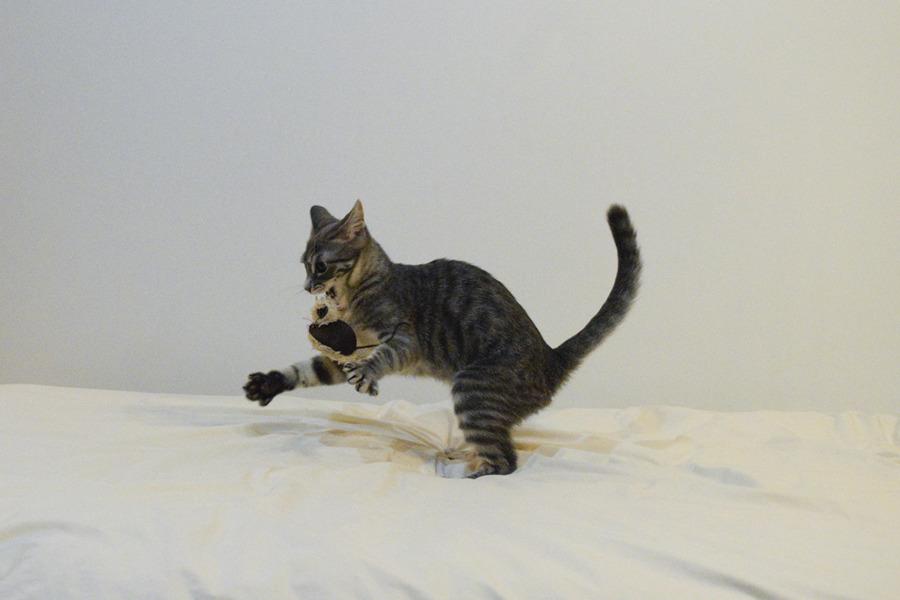 ねずみのおもちゃで遊ぶサバトラ猫の春太