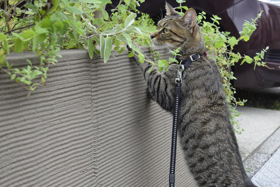 別荘をチェックするキジトラ猫の虎ノ介