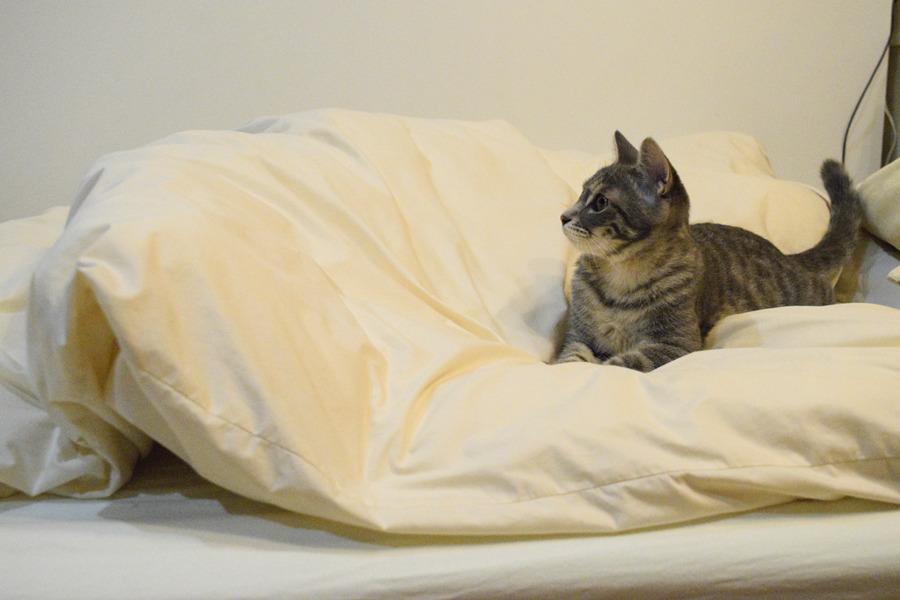 布団にもぐったキジトラ猫の虎ノ介とそれを眺めるサバトラ猫の春太