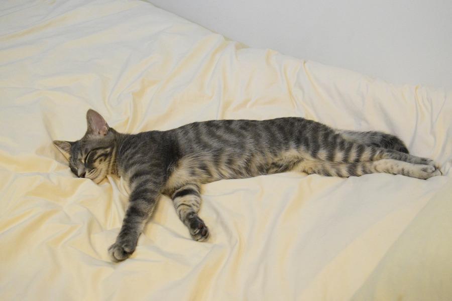 寝ているサバトラ猫の春太