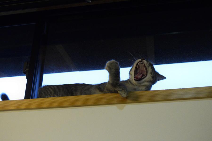 アクビをするサバトラ猫の春太