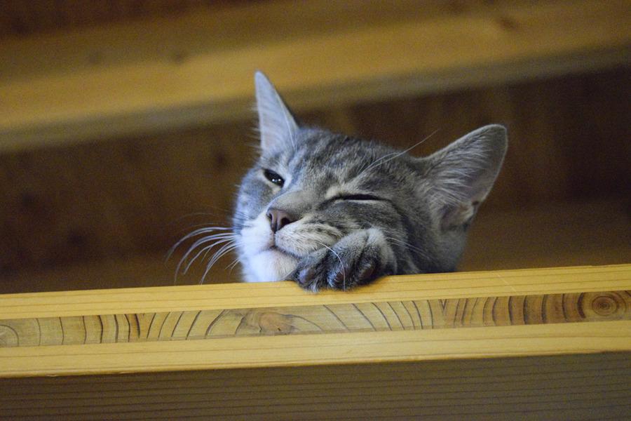 お昼寝するサバトラ猫の春太