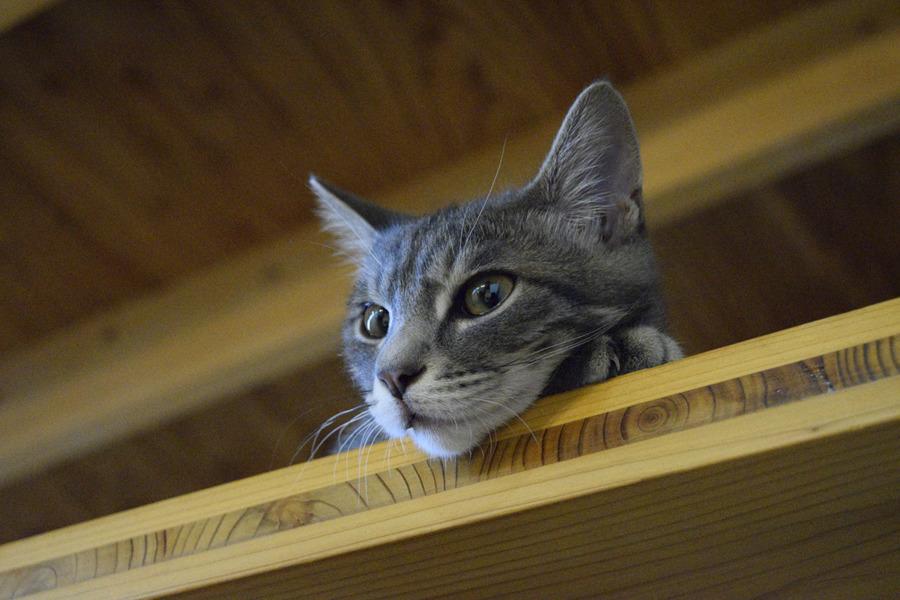 目を覚ましたサバトラ猫の春太
