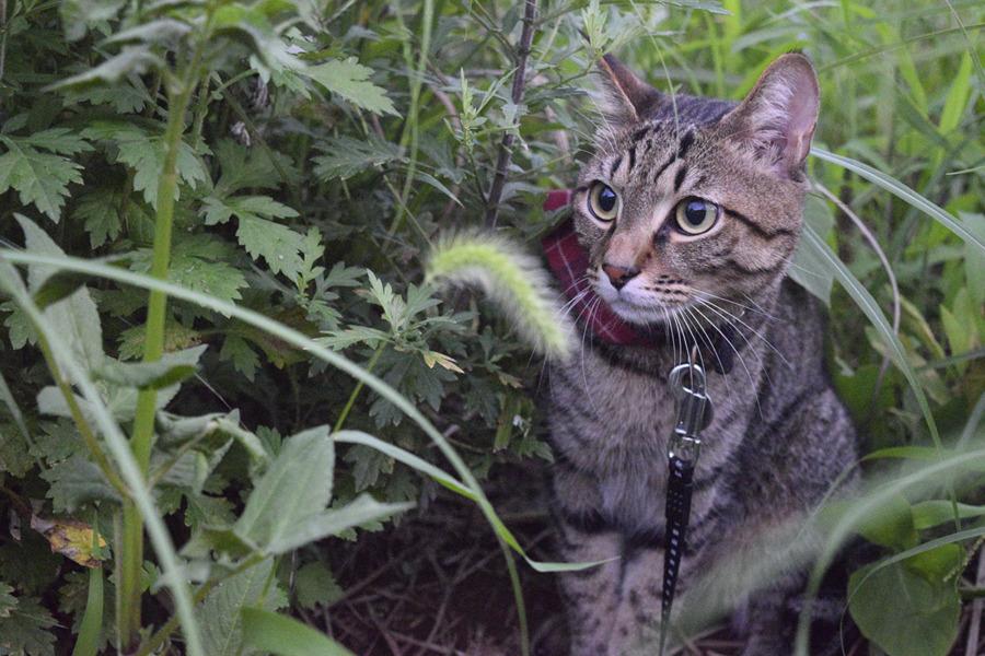 虫を見つめるキジトラ猫の虎ノ介