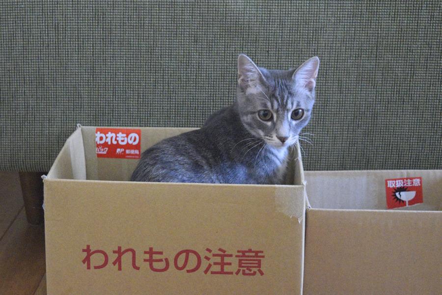 箱に入るサバトラ猫の春太