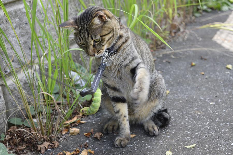 芋虫にリードを掴まれたキジトラ猫の虎ノ介