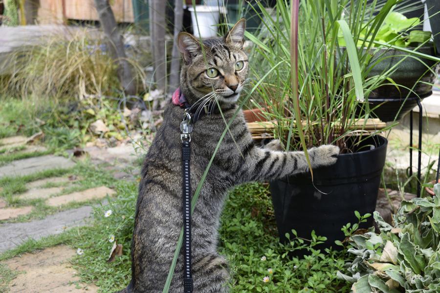 鉢を抱え込んでレモングラスを食べるキジトラ猫の虎ノ介