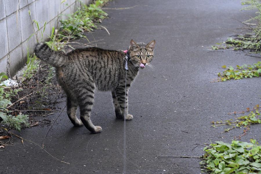 犬の散歩に囲まれて動揺するキジトラ猫の虎ノ介