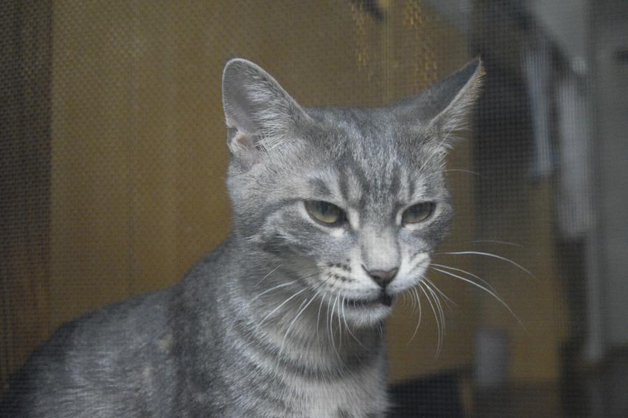 チンピラ顔のサバトラ猫の春太