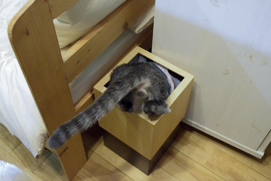 ゴミ箱をあさるサバトラ猫の春太