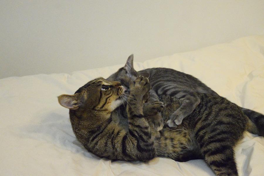 サバトラ猫の春太をペロペロするキジトラ猫の虎ノ介