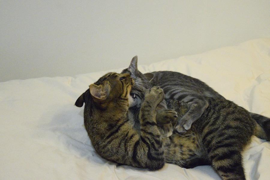 サバトラ猫の春太にかみつくキジトラ猫の虎ノ介