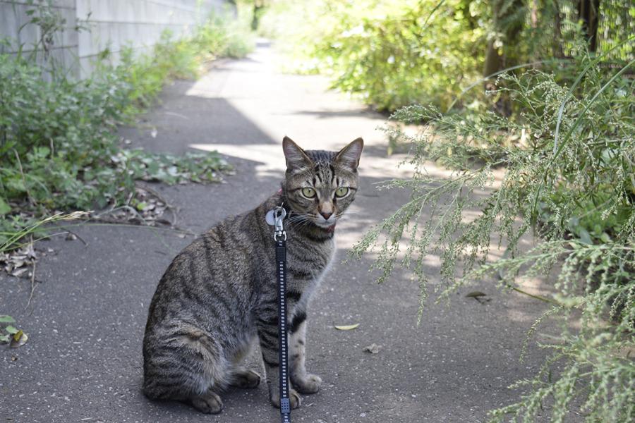暑い中お外にでかけるキジトラ猫の虎ノ介