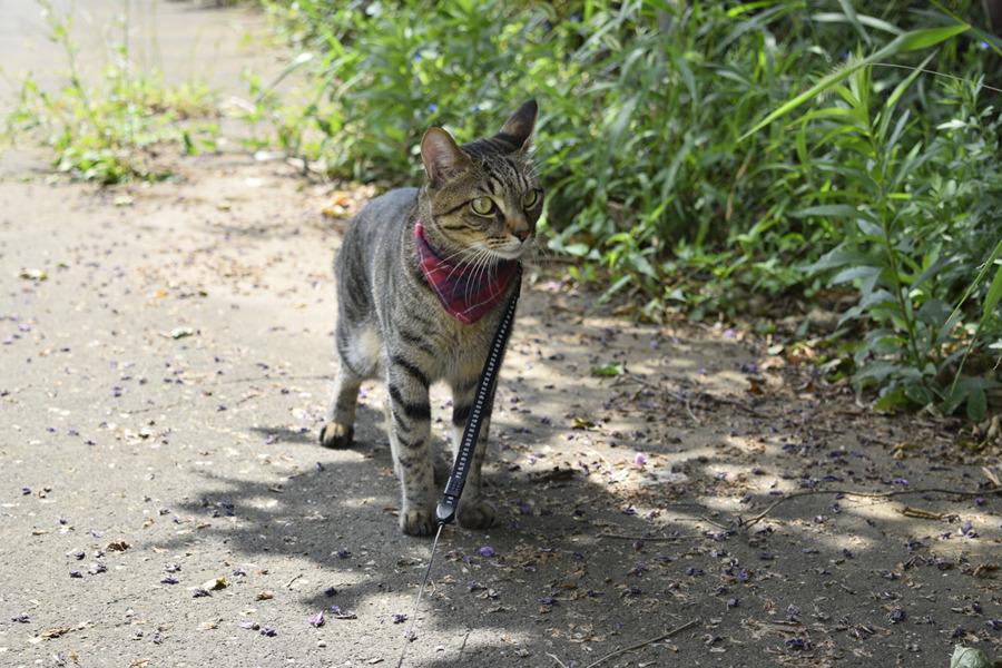 カラスとスズメガ歩いているのを見つめるキジトラ猫の虎ノ介