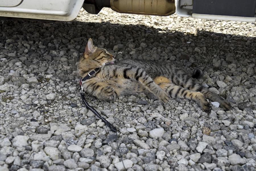 駐車場で毛づくろいをしつつ警戒するキジトラ猫の虎ノ介