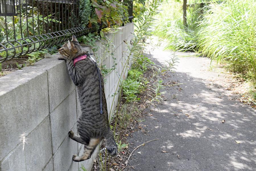 枯れ葉の音に反応してよそのお庭を覗くキジトラ猫の虎ノ介