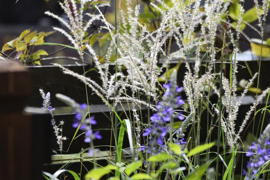 庭のススキ