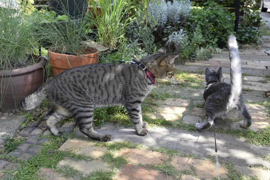 リードにつながれた春太を見るキジトラ猫の虎ノ介