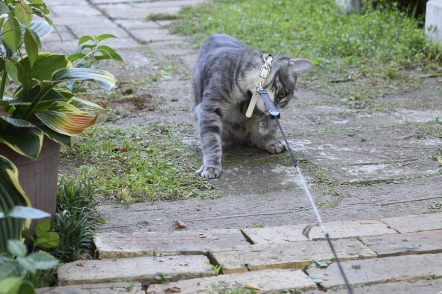 首輪を恥ず相当するサバトラ猫の春太