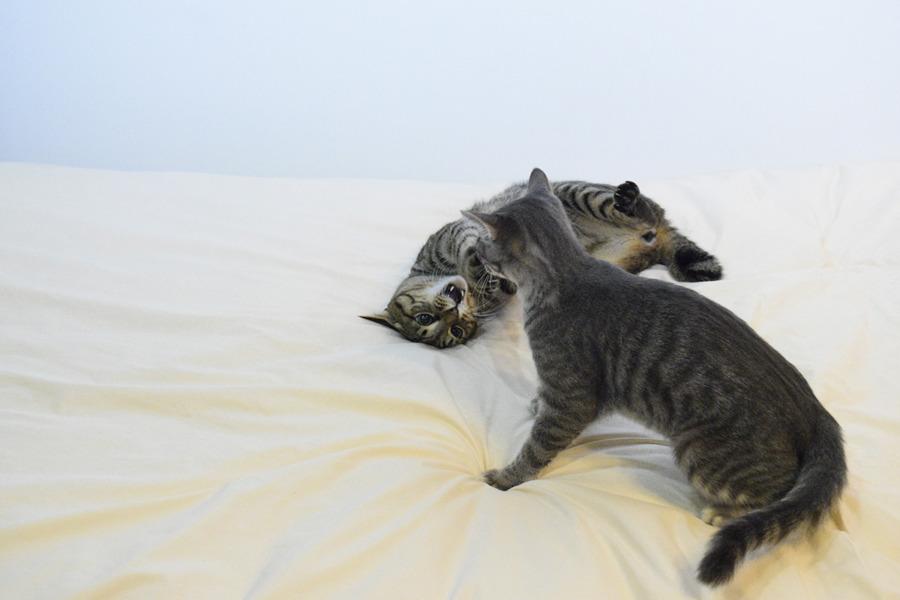 サバトラ猫の春太に攻撃をしかけるキジトラ猫の虎ノ介
