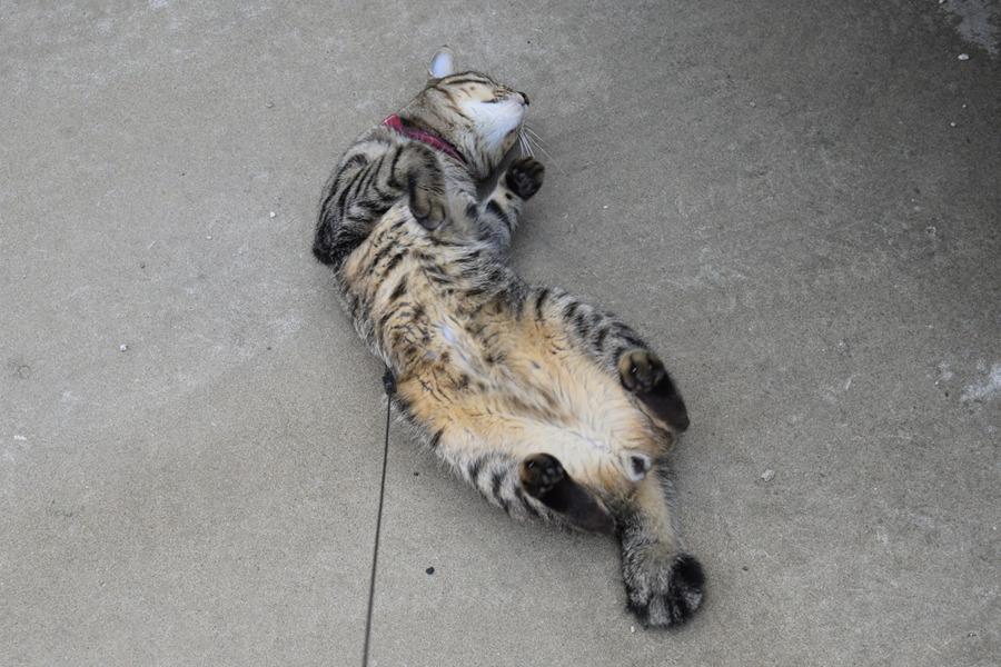 道路でゴロンゴロンするキジトラ猫の虎ノ介