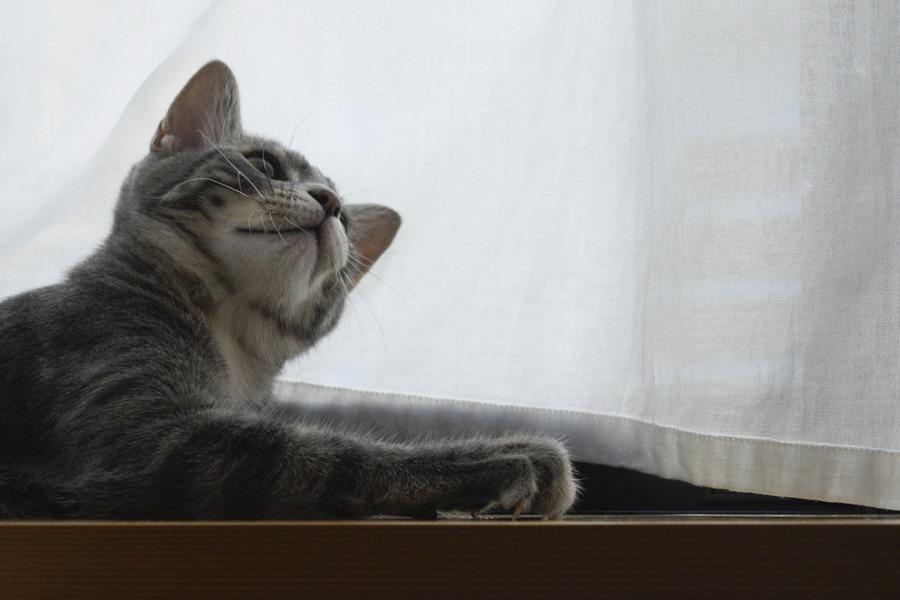 ドヤ顔をするサバトラ猫の春太