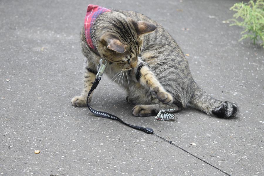 蝶々を発見したキジトラ猫の虎ノ介