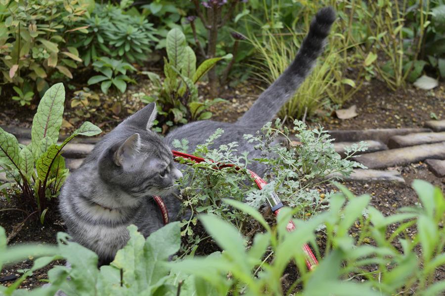 タイムの匂いをかぐサバトラ猫の春太