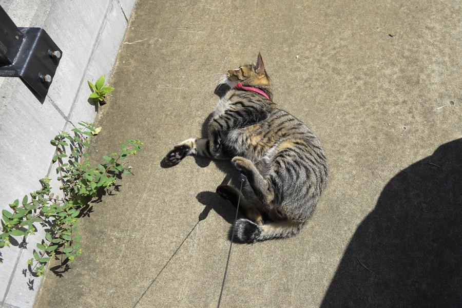 ゴロンゴロンするキジトラ猫の虎ノ介