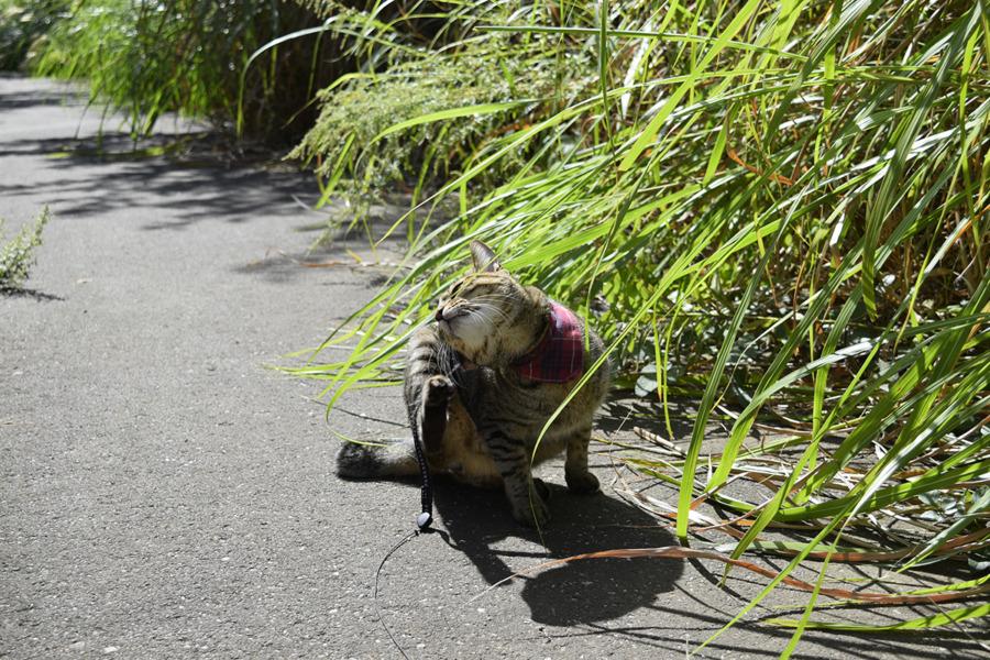 歩くのをやめるキジトラ猫の虎ノ介